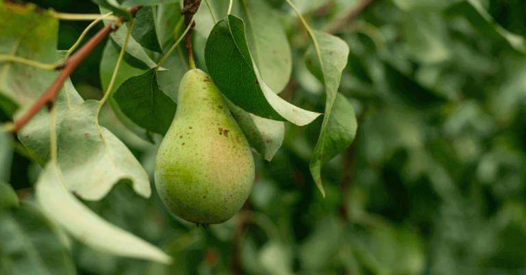 how-to-draw-pear-tree